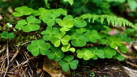 丛林,湿,绿色,四叶三叶草,高清,特写镜头极品壁纸精选 3840x2160
