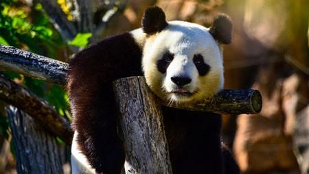 可爱,熊猫,中国,2022,动物,高清,照片高端桌面精选 3840x2160