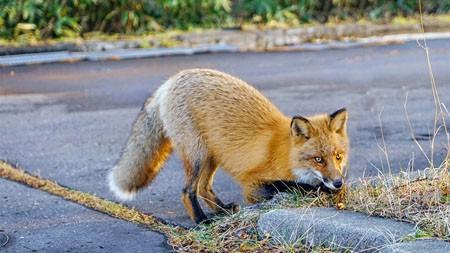 北海道野狐,2022,高画质,照片高端桌面精选 3840x2160