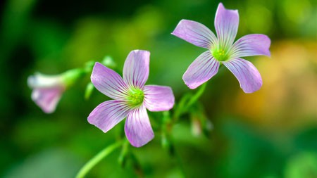 酢浆草,2021,紫色的花,4K高清写真极品壁纸精选 3840x2160