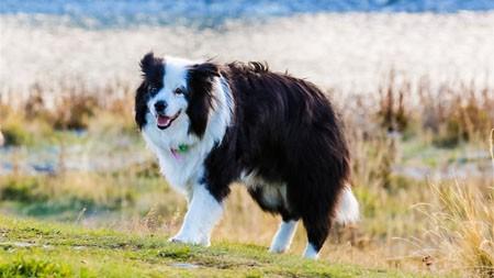 牧羊犬,2022,高质量,照片极品壁纸精选 3840x2160