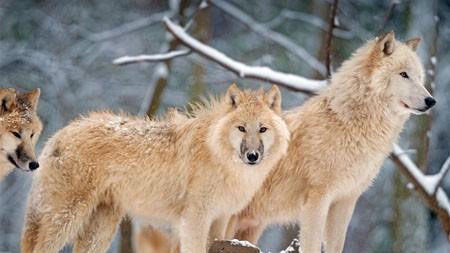 北极狼,加拿大,2021年,动物,5K HD,照片高端桌面精选 3840x2160
