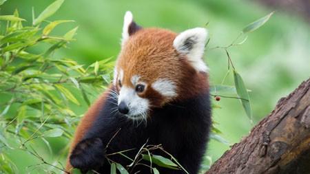 小熊猫,竹,2022,动物,高清,照片高端桌面精选 3840x2160