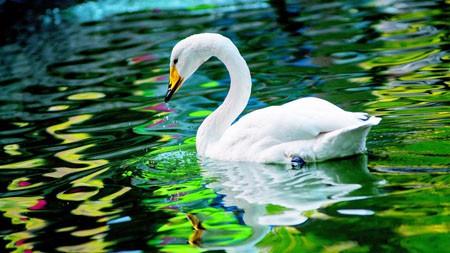 绿色,湖,白天鹅,4K,HD,照片高端桌面精选 3840x2160