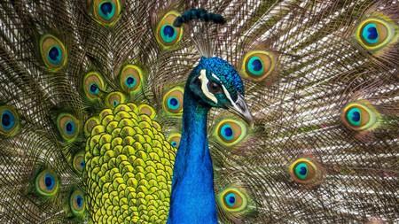 蓝孔雀,2022,动物,高清,摄影高端桌面精选 3840x2160
