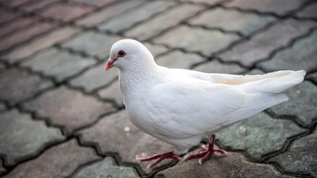 白,鸽子,可爱,鸟,动物,特写镜头极品壁纸精选 3840x2160