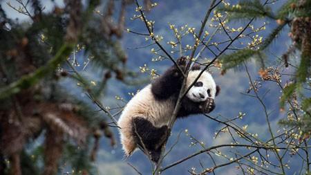 中国,四川,碧峰峡,熊猫,2021年,Bing,HD,桌面高端桌面精选 3840x2160