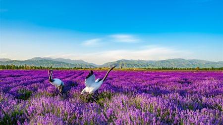 紫色,薰衣草,花园,丹顶鹤,照片高端桌面精选 3840x2160