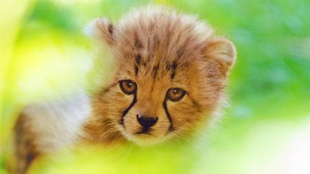 可爱,猎豹,幼崽,脸,2022,4K,超高清百变桌面精选 3840x2160
