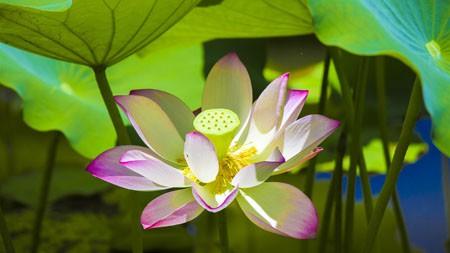 夏天,阳光,粉红色,莲花,绽放,特写高端桌面精选 3840x2160