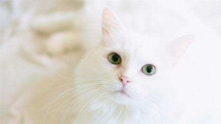 可爱,动物,白,猫,好奇心,特写高端桌面精选 3840x2160