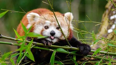 可爱,小熊,竹子,高清,照片高端桌面精选 3840x2160