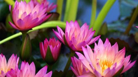 2022,紫色,睡莲,盛开,鲜花,特写镜头极品壁纸精选 3840x2160