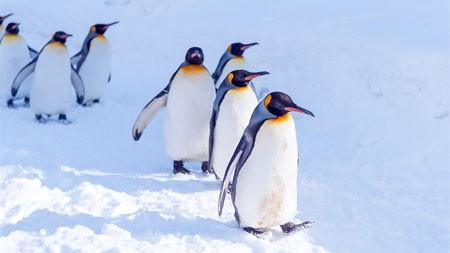 极地,企鹅,雪,可爱,动物,照片高端桌面精选 3840x2160