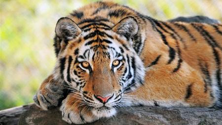 孟加拉虎,休息,野生动物,摄影高端桌面精选 3840x2160