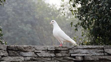 户外,白色,鸽子,鸟,动物,特写高端桌面精选 3840x2160