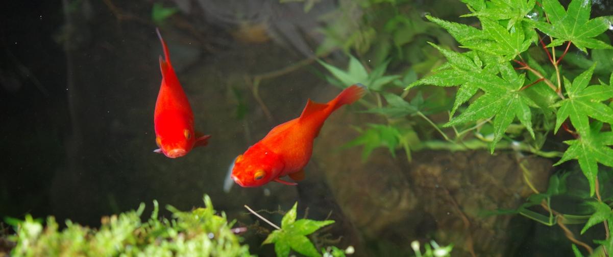红色金魚3440x1440带鱼屏高端电脑桌面壁纸