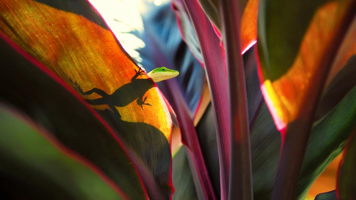 考艾岛的一个植物园 蜥蜴 壁虎 3840x2160高端电脑桌面壁纸
