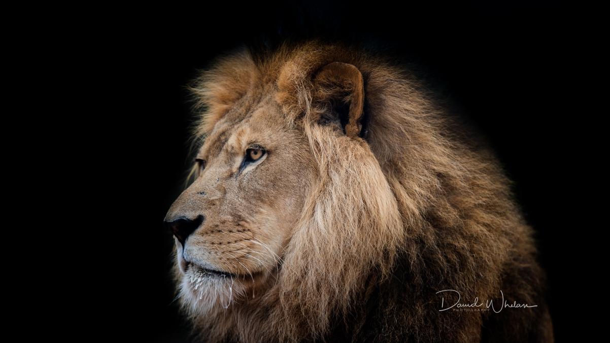森林之王,野兽,狮子4K高清高端电脑桌面壁纸