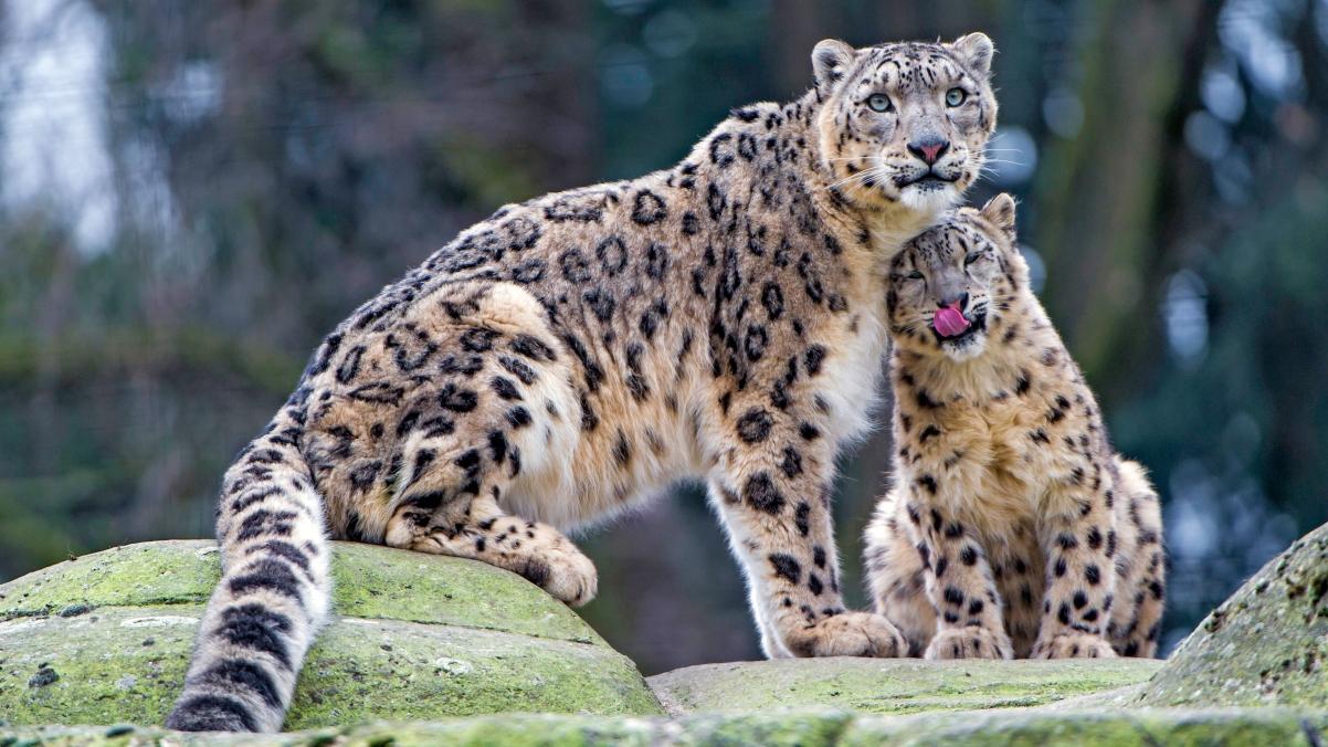 母豹猫和婴儿4K图片