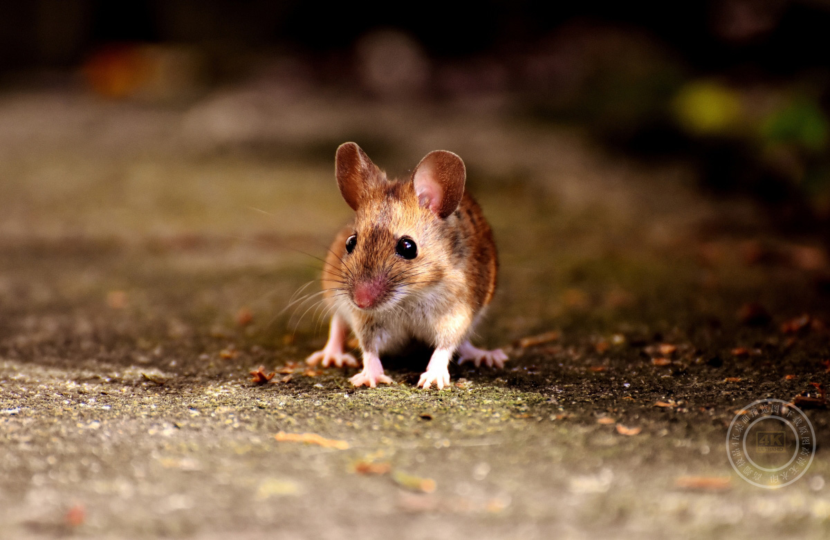 可爱老鼠4K摄影图片