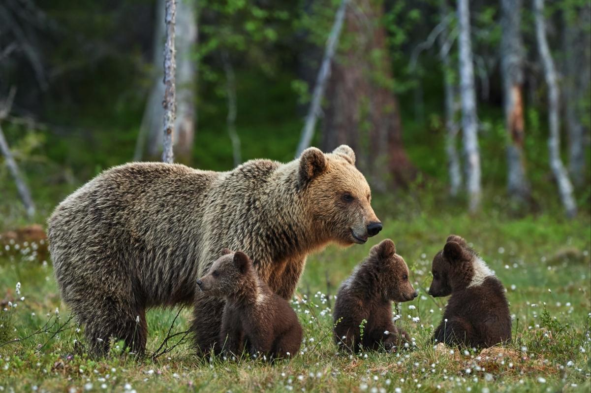 林间空地,可爱棕色熊妈妈和熊孩子们图片