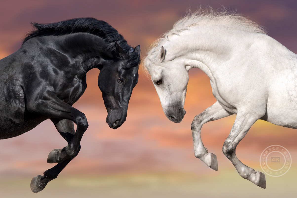 两匹黑白骏马4k图片
