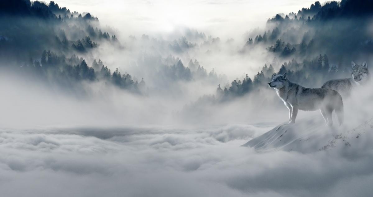 雪原上的狼图片
