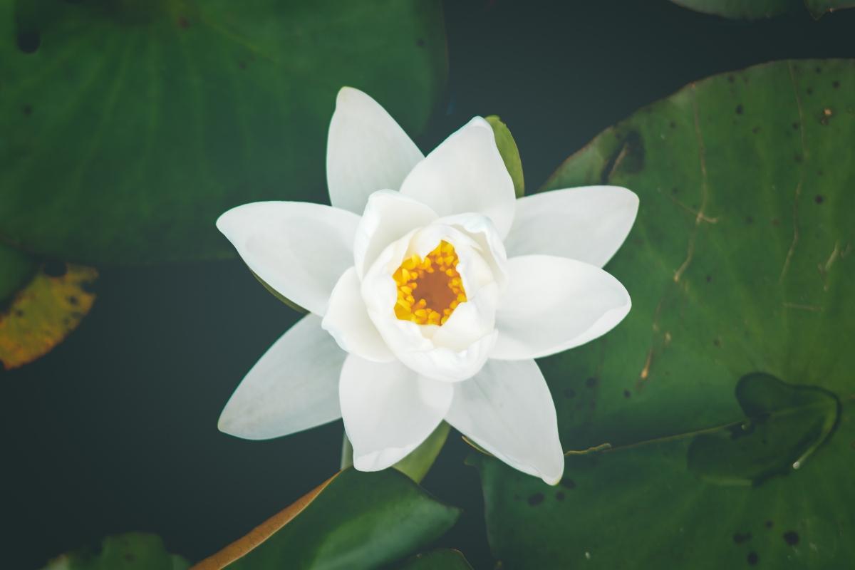 白色睡莲6k图片