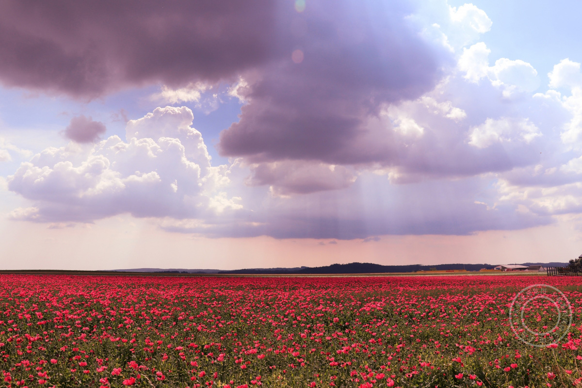 鲜花 云 罂粟 天空 红色花4K高端电脑桌面壁纸