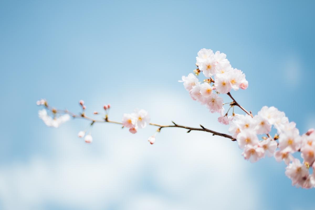 樱花风景6K高端电脑桌面壁纸