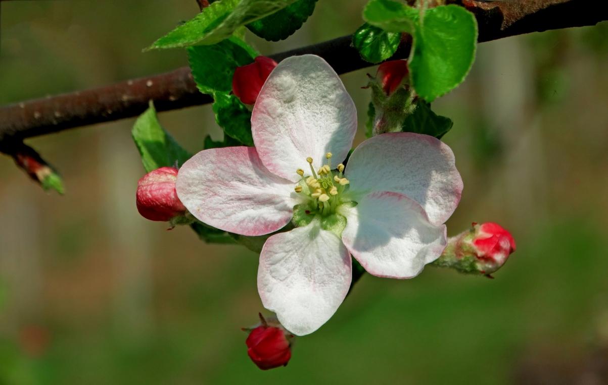 苹果花 果园 自然 春天 5K图片