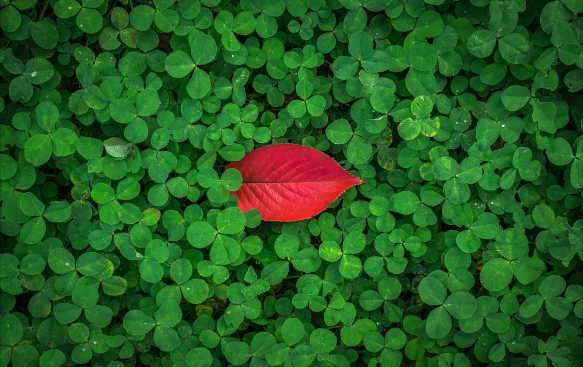 秋天的树叶 三叶草 4K图片