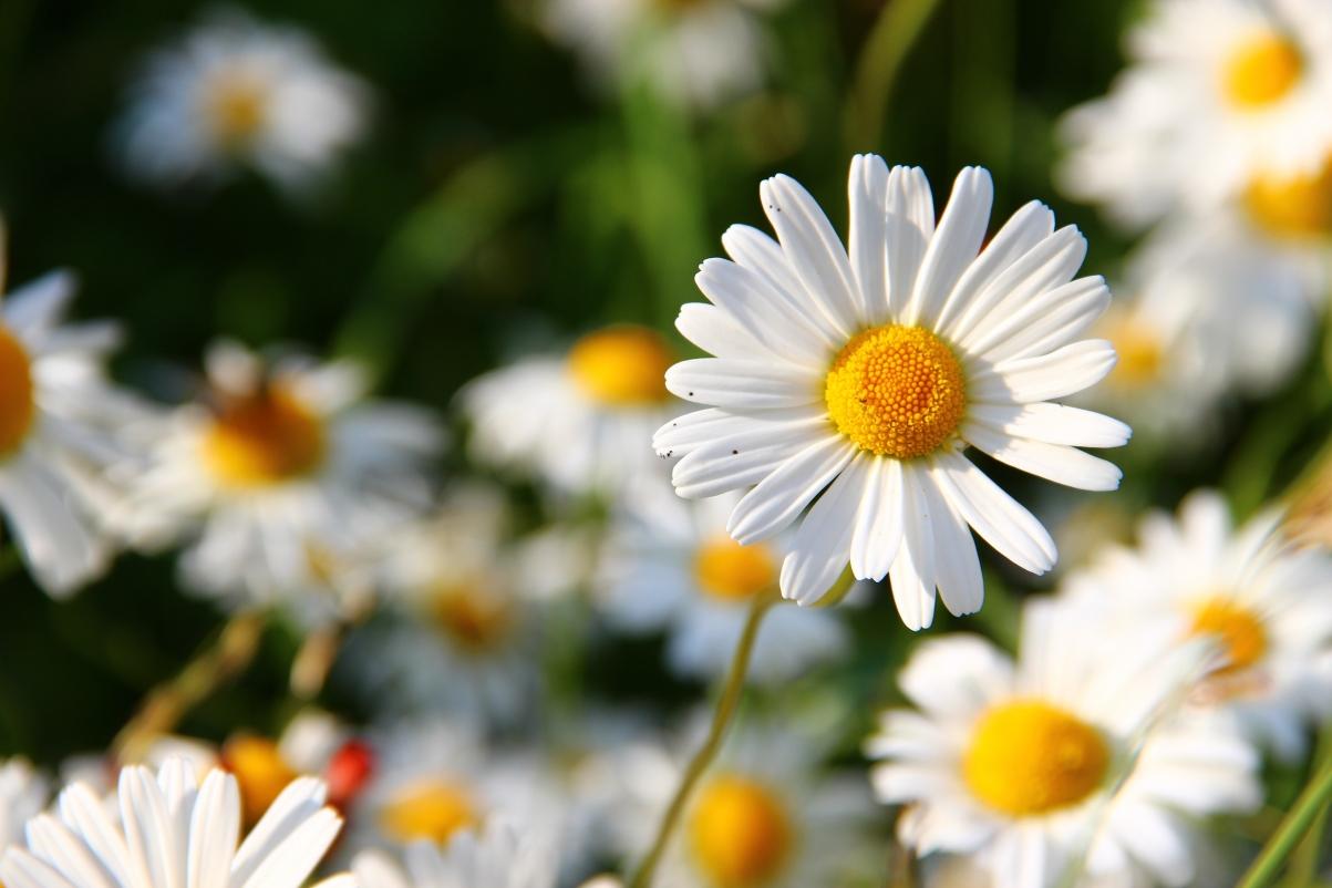 白雏菊花 鲜花 盛开 草地 5k高端电脑桌面壁纸