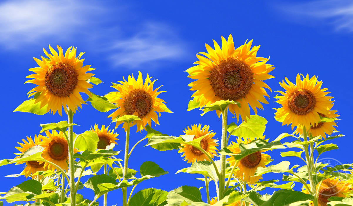 大自然天空,花,向日葵,花瓣图片