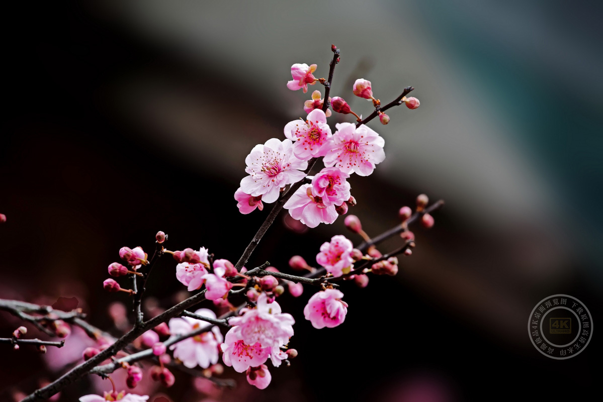 粉色梅花树枝图片