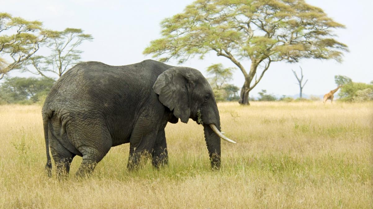 非洲草原大象4k高端电脑桌面壁纸