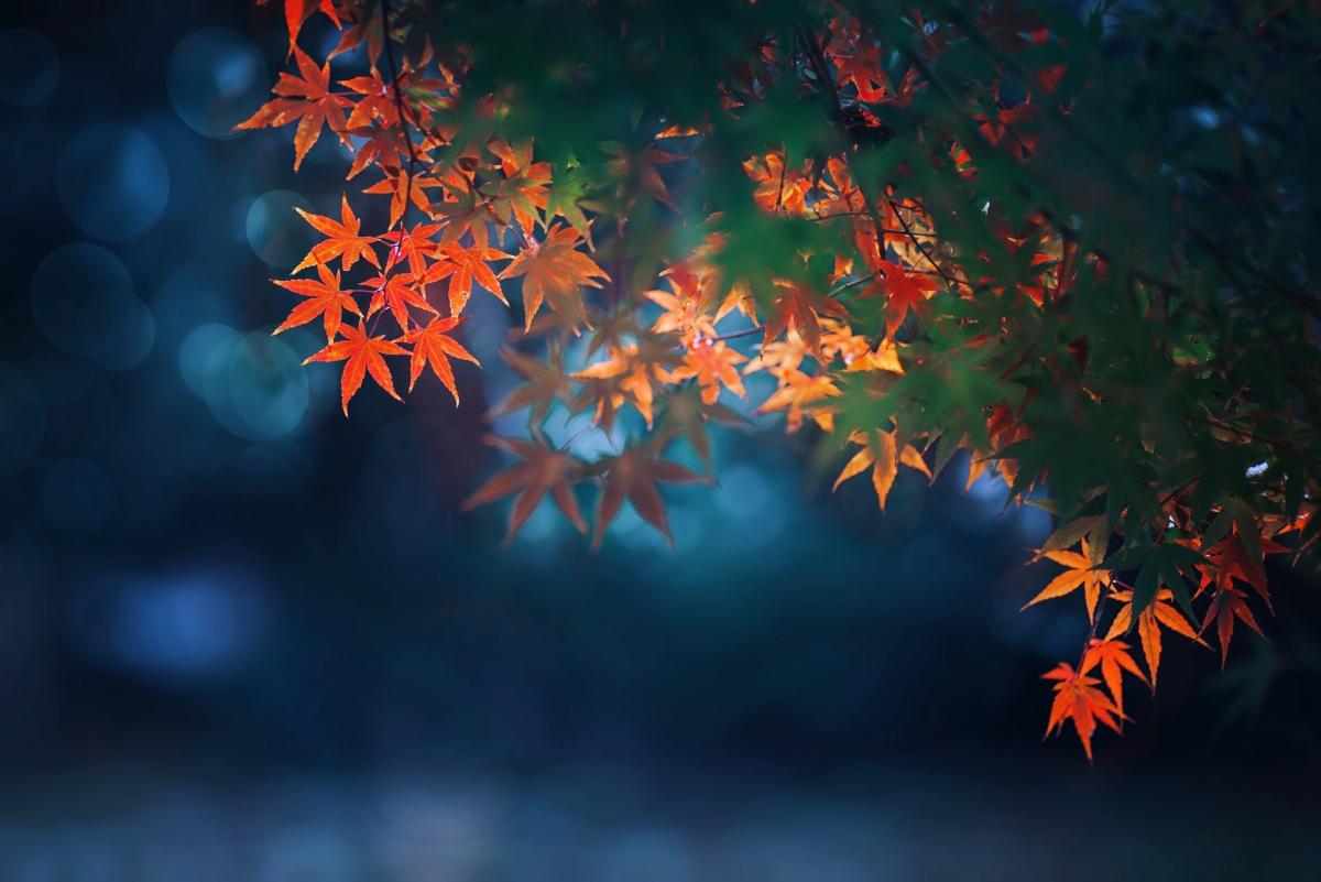 秋天枫树红枫叶4k高端电脑桌面壁纸