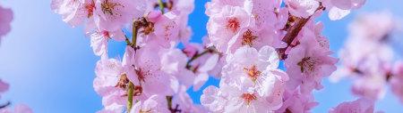 粉红色樱花极品游戏桌面精选4K+高清壁纸