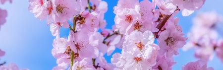 粉红色樱花极品壁纸推荐高清壁纸