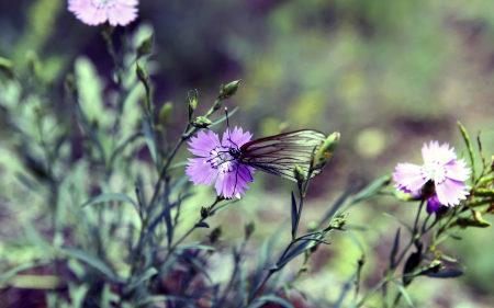 紫色野花上的蝴蝶高端桌面4K+高清壁纸图片