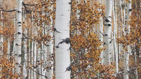 秋天的白杨树林高端桌面4K+高清壁纸图片