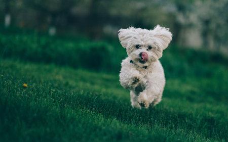 草地上奔跑的比熊犬高端桌面4K+高清壁纸图片