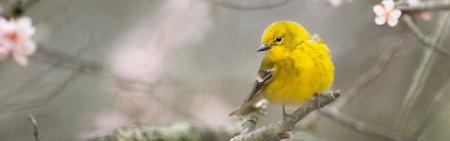树枝上的黄色小鸟高端桌面4K+高清壁纸图片