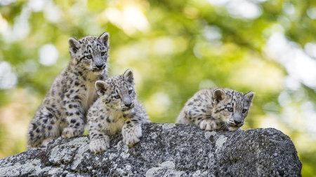 3只可爱的雪豹幼崽高端桌面4K+高清壁纸图片