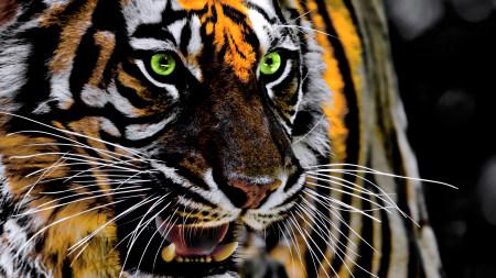 咆哮的老虎高端桌面4K+高清壁纸图片
