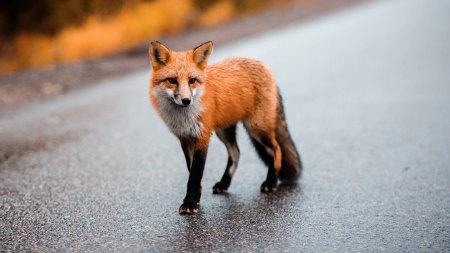 棕色狐狸高端桌面4K+高清壁纸图片