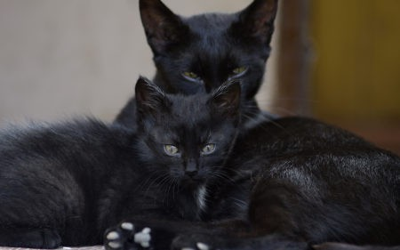 两只黑猫高端桌面4K+高清壁纸图片