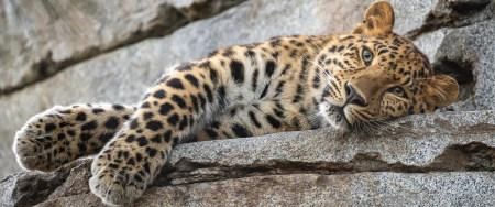 躺在石板上的豹子高端桌面4K+高清壁纸图片
