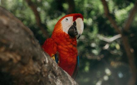 金刚鹦鹉高端桌面4K+高清壁纸图片